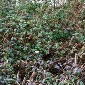 Himalayan blackberry patch - click for larger image