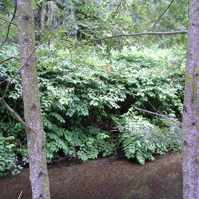 Bohemian knotweed on Soos Creek