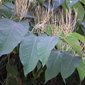 Bohemian knotweed leaves - click for larger image
