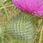 bull thistle (cirsium vulgare) flower - click for larger image