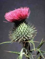 Bull Thistle Flower - click for more information on bull thistle (Cirsium vulgare)