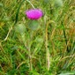 bull thistle (cirsium vulgare) flowering - click for larger image