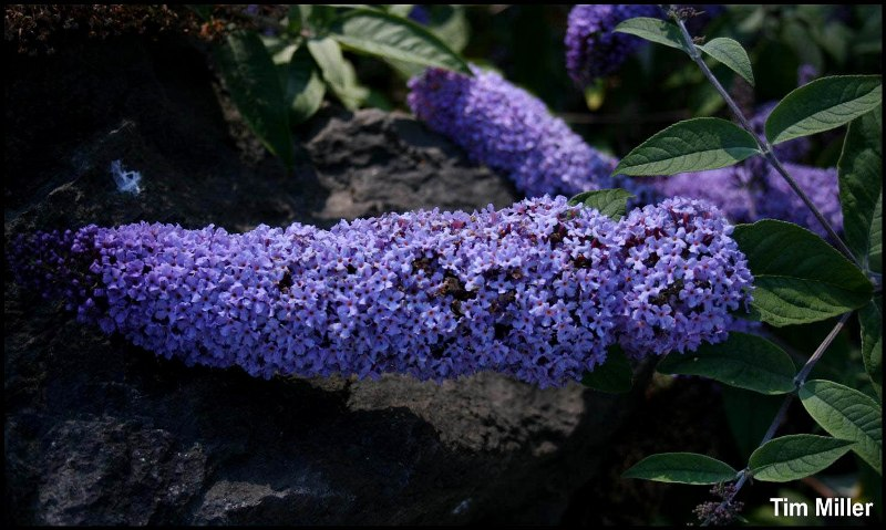 Butterfly bush flower spike - click for larger image