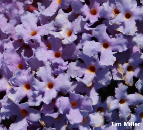 Butterfly bush flowers closeup - click for larger image