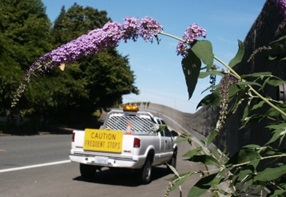 Butterfly bush growing on the highway - click for larger image