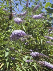 Butterfly bush in flower - click for larger image