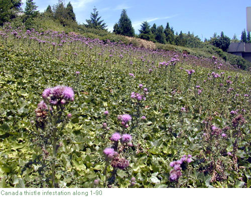 Canada thistle infestation