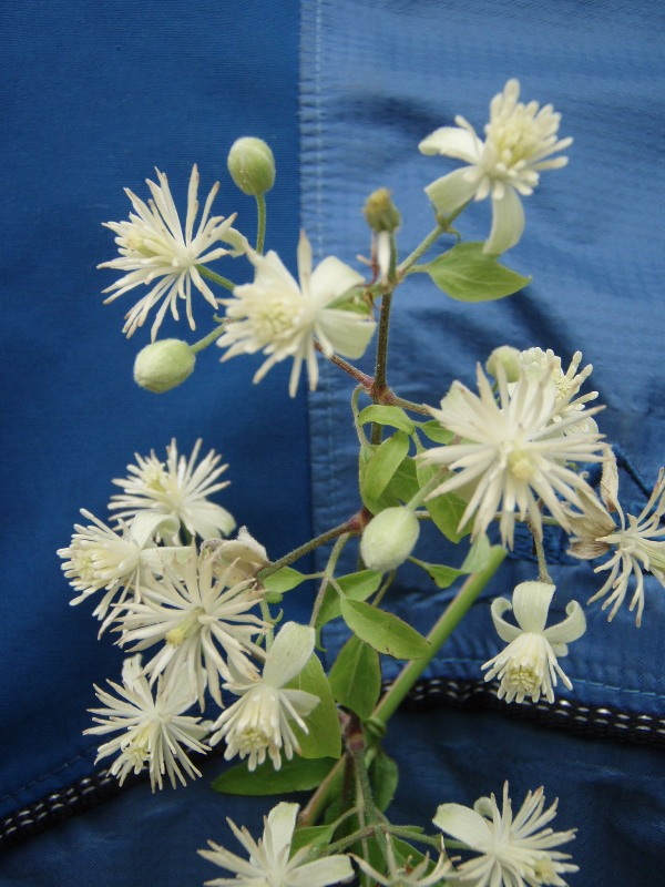 Old Man's Beard (Clematis vitalba) Flowering Stem