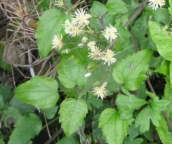 Quelqu'un peut-il m'aider à identifier cette plante/arbre Clematis_vitalba_leaves_flowers