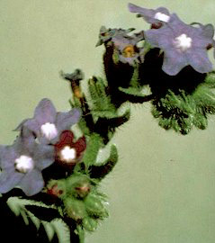 common bugloss flower