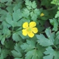 creeping buttercup flower with leaves - click for larger image
