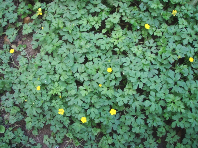 creeping buttercup flowering patch