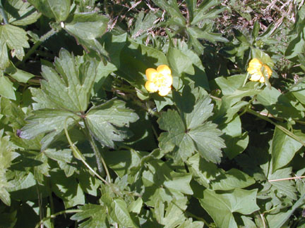 creeping buttercup leaves with flower