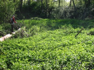 Creeping buttercup infestation on Longfellow Creek - click for larger image