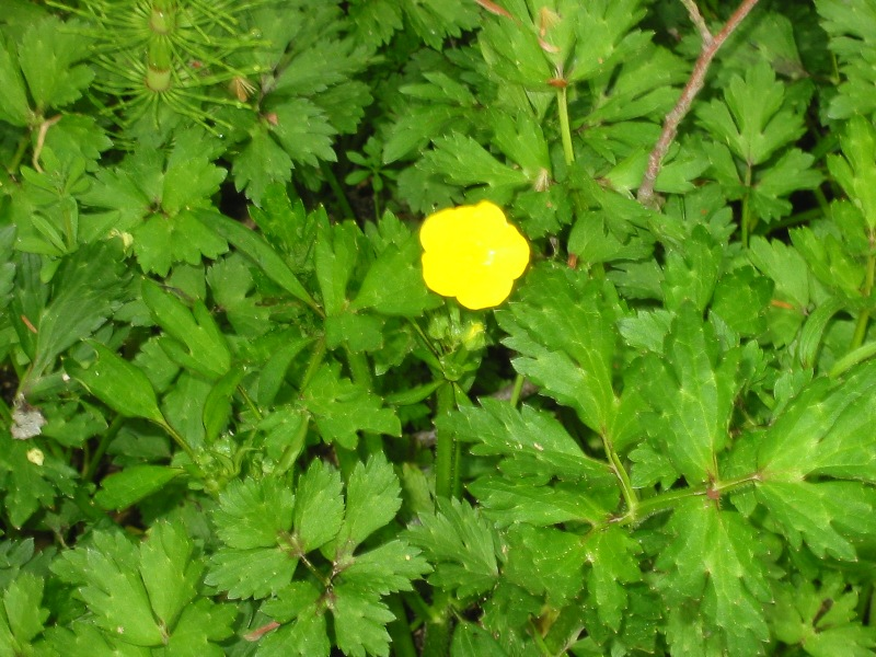 Creeping buttercup leaves and flower