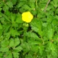Creeping buttercup leaves and flower - click for larger image