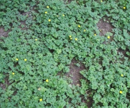 Creeping buttercup patch - click for larger image