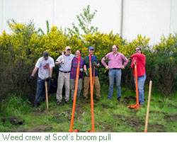 County weed crew at Scot's broom pull