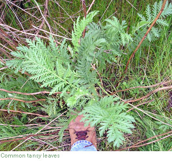 common tansy leaves