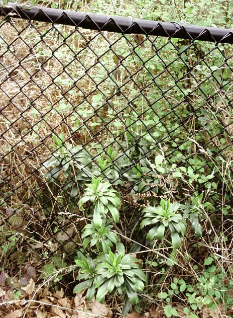 Spurge laurel (Daphne laureola) patch by a fence