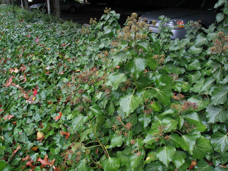 English ivy carpet with flowering stems