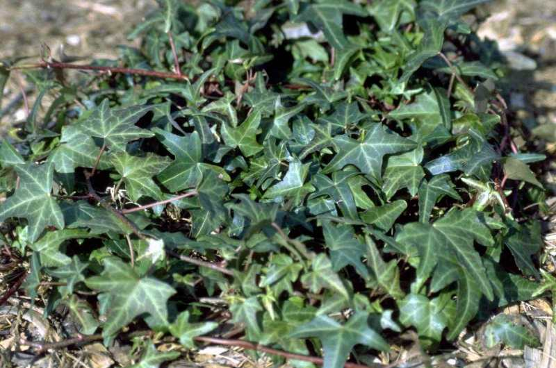 English ivy 'Star'
