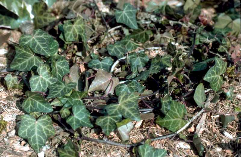 English ivy 'Baltica'