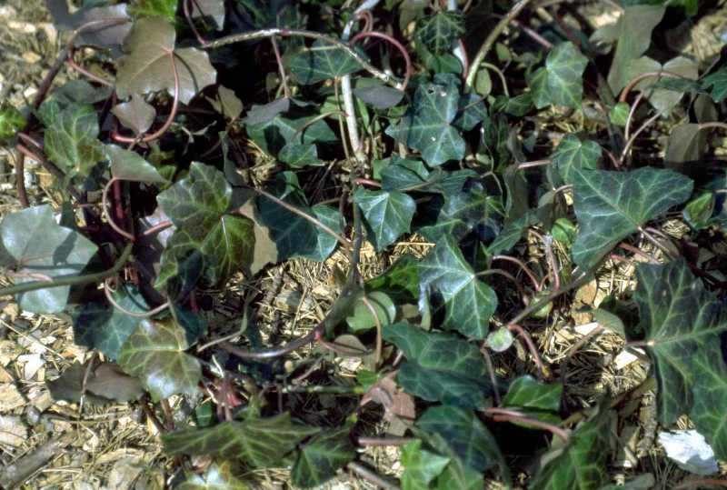 English ivy 'Hibernica'