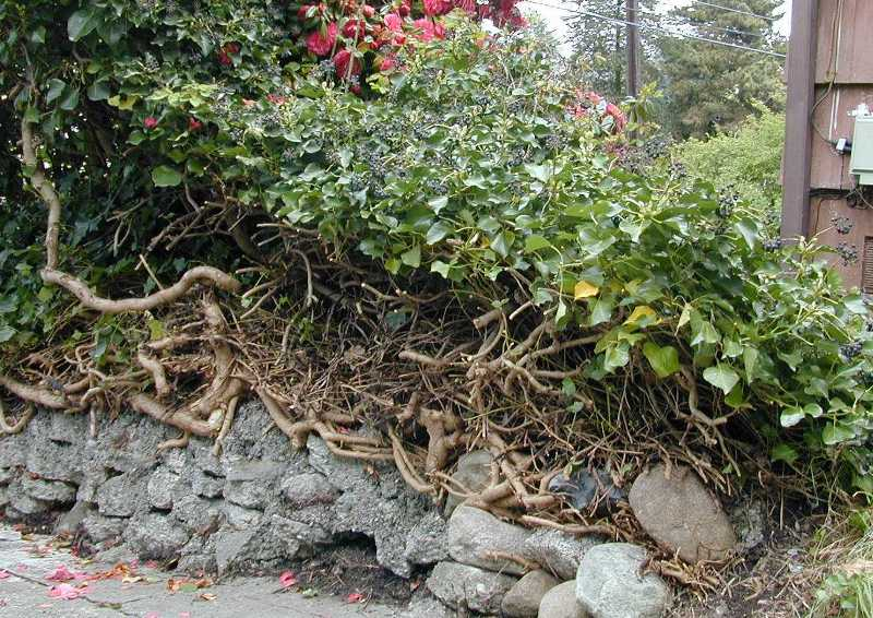 English ivy on rock wall