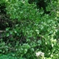 English ivy on downed tree - click for larger image