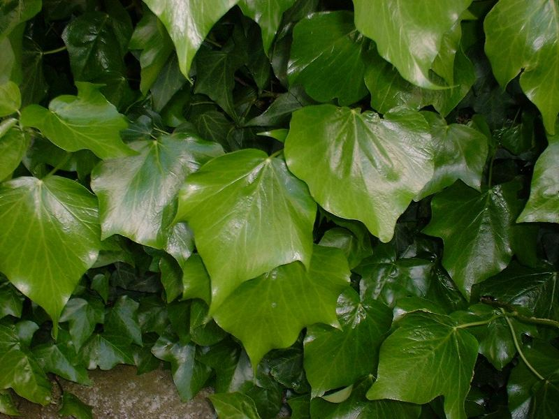 English ivy mature leaves closeup