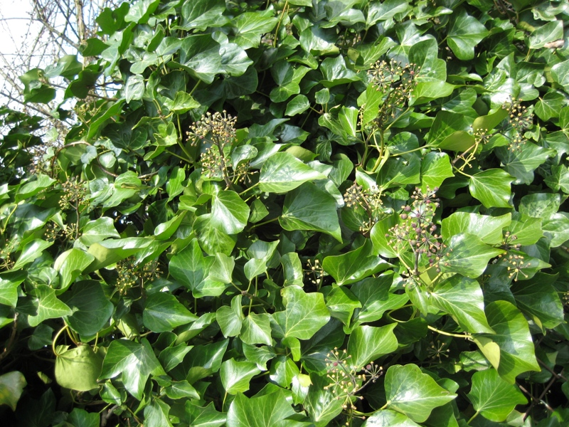 English ivy mature leaves and green fruit