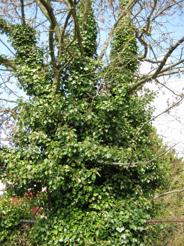 English Ivy Covering A Tree Click For Larger Image