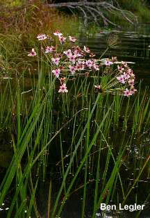 Flowering-rush (Butomus umbellatus) - click for larger image
