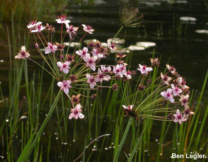 Flowering-rush (Butomus umbellatus) flowers