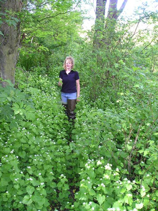 Garlic mustard infestation before control