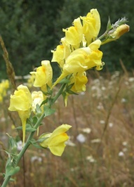 Dalmatian Toadflax flowers - click for larger image