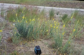 Dalmatian Toadflax roadside infestation - click for larger image