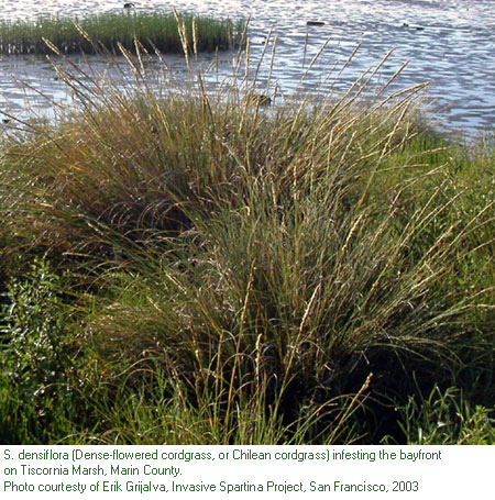 dense-flowered cordgrass