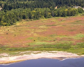 Hairy Willow-herb Infestation (Epilobium hirsutum) Photo Courtesy of Island County Weed Board - click for larger image