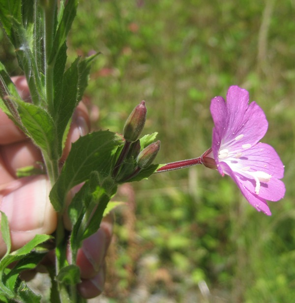 Hairy Willow-herb (Epilobium hirsutum) flower sideview
