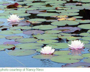 fragrant water lily - click for larger image