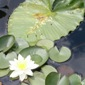 fragrant water lily and native yellow pondlily - click for larger image