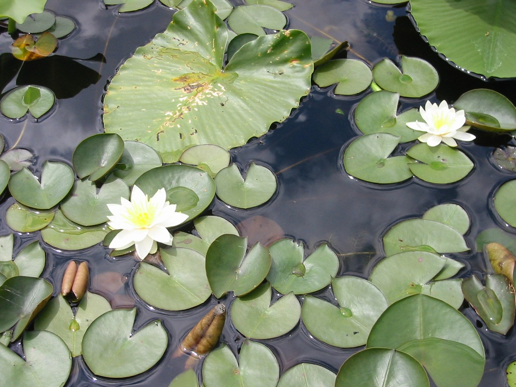 fragrant water lily and native yellow pond lily - click for larger image