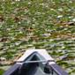 fragrant water lily from a canoe - click for larger image