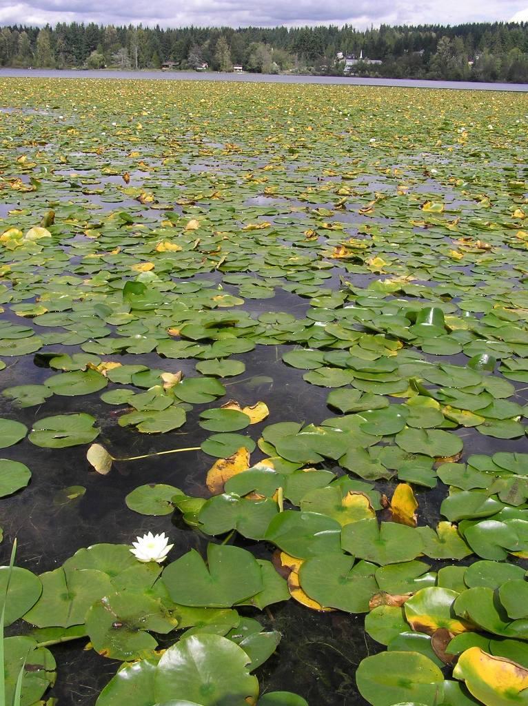 Freshwater Lake Plants it Grows in Freshwater Lakes