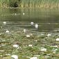 fragrant water lily lake infestation - click for larger image