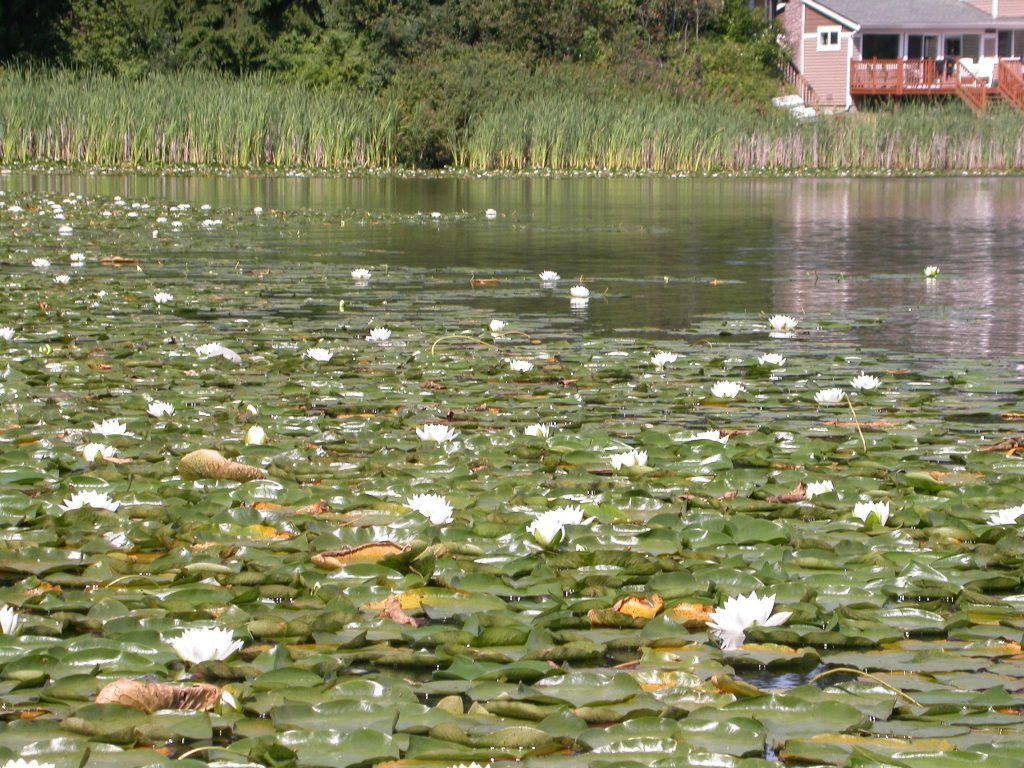 fragrant water lily lake infestation