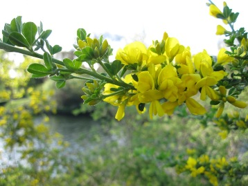 French broom - Genista monespessulana- click for larger image
