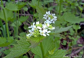 Garlic mustard - Alliaria petiolata - click for larger imageGarlic mustard - Alliaria petiolata - click for larger image